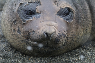 molting Elephant Seal pup