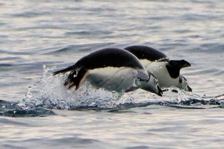 chinstrap penguins porposing