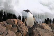 Adele penguin