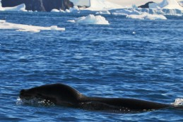 Leopard Seal swimming fast!