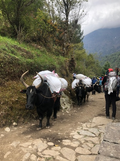 Yak teams are used to move supplies for merchants in villages higher up on the trail. They're also used for climbing expeditions that need to carry fuel, oxygen tanks, climbing gear, tents, food...etc